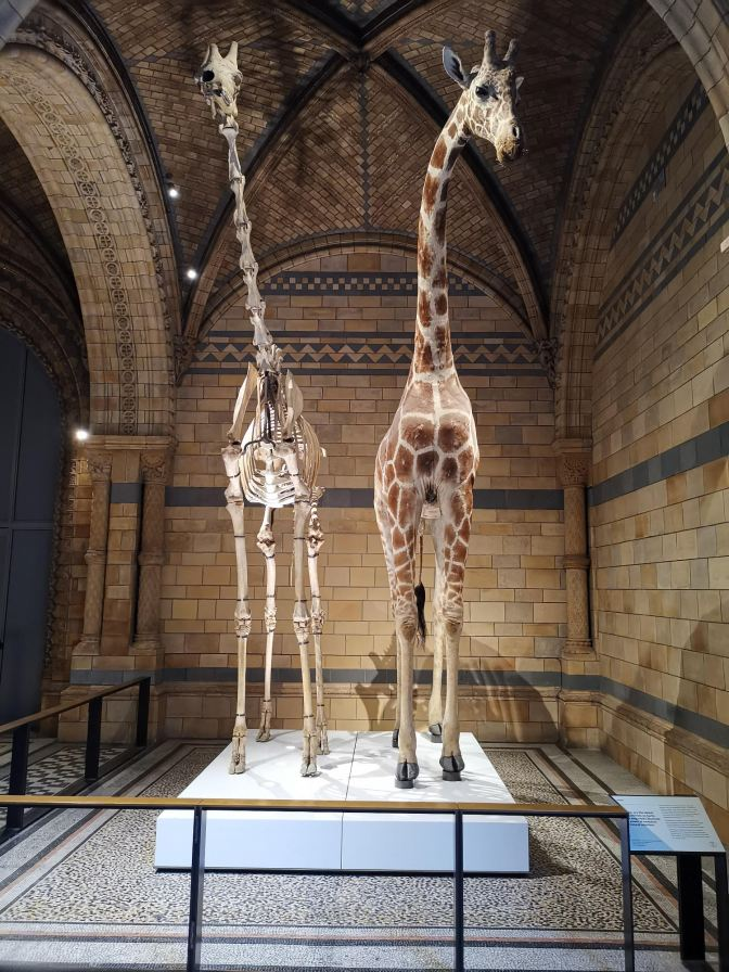 Giraf Natural History Museum London