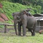 Olifanten en toeristen zijn geen goede combo