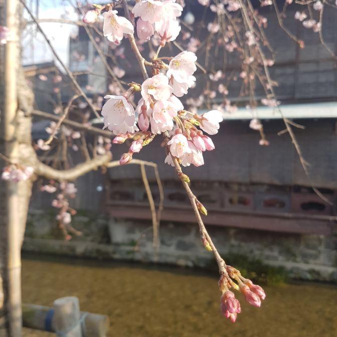 De Sakura in Japan is erg mooi