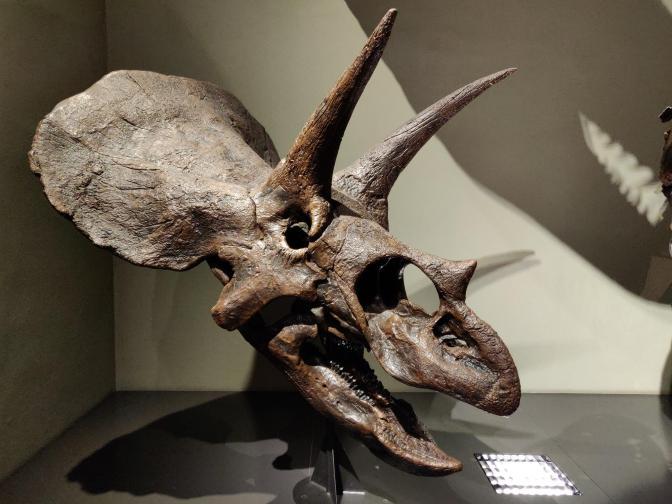 Skelet van een triceratops