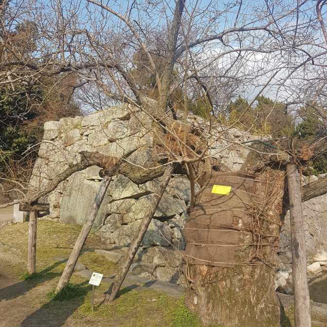 Een oude boom met een... wandelstok