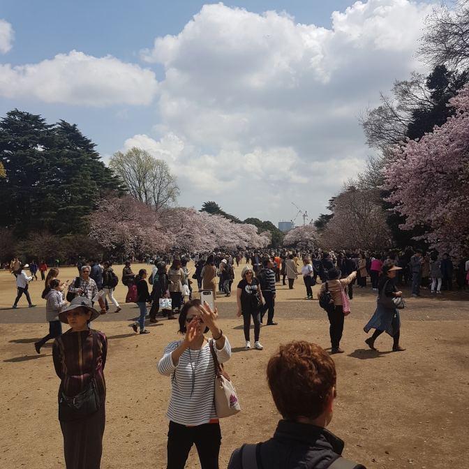 Japanners zijn zelf ook elk jaar weer onder de indruk van de bloeiende bomen