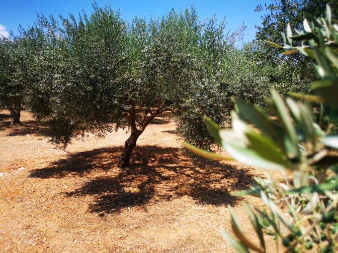 Olijfbomen zijn wel tegen de brandende Griekse zon bestand.